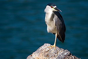 Black Crowned Night Heron standing on one leg at Freestone Park