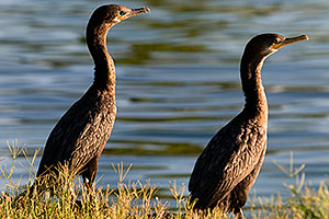 Neotropic Cormorants enjoying the morning sun at Freestone Park