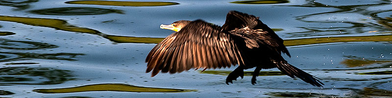 Neotropic Cormorant in flight at Freestone Park