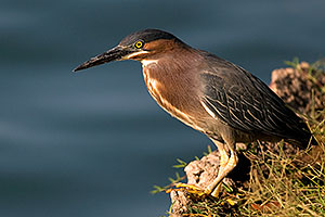 Green Heron at Freestone Park