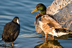Mallard Duck and American Coot at Freestone Park