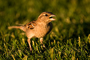House Sparrow [female] at Freestone Park