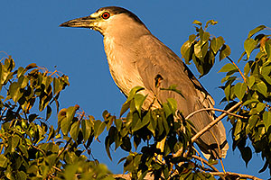Black Crowned Night Heron in a tree at Freestone Park