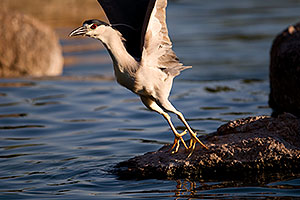 Black Crowned Night Heron before flight at Freestone Park