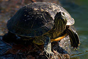 Red-eared slider turtle resting at a rock at Freestone Park