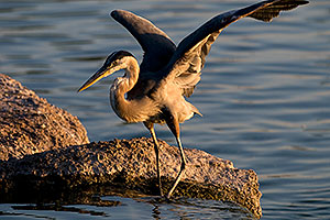 Great Blue Heron spreading his wings on a rock at Freestone Park