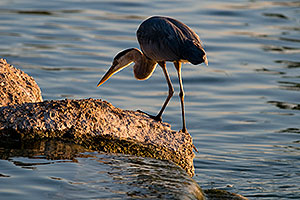 Great Blue Heron on a rock at Freestone Park