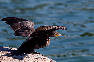 Cormorant about to takeoff from a rock at Freestone Park