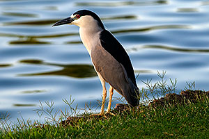 Black Crowned Night Heron watching the pond at Freestone Park
