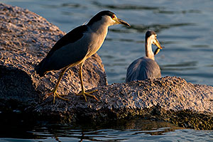 Black Crowned Night waiting for his spot as Great Blue Heron catches a fish