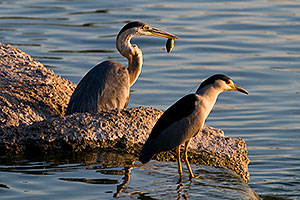 Great Blue Heron catches a fish as Black Crowned Night Heron watches