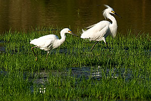 Snowy Egrets (have yellow feet, Great Egrets have black feet) at Riparian Preserve
