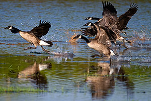 Canadian Geese walking on water at Riparian Preserve