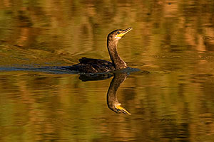 Cormorant at Riparian Preserve