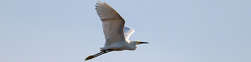 Snowy Egret in flight at Riparian Preserve