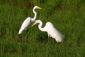 Two Great Egrets at Riparian Preserve