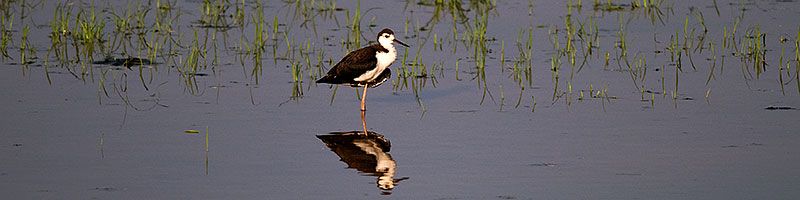 Black Necked Stilt (juvenile) at Riparian Preserve