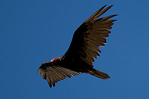 Turkey Vulture at Riparian Preserve