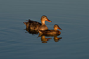 Mallard Ducks [females] mother and daughter at Riparian Preserve