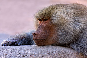 Male Baboon at the Phoenix Zoo