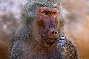 Female Baboon at the Phoenix Zoo