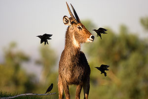 Waterbuck of Phoenix Zoo