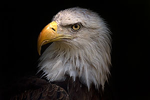 Bald Eagle portrait at the Phoenix Zoo