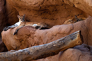 2 Mountain Lions resting at the Phoenix Zoo