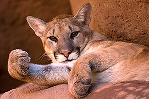 Mountain Lion looking playful at the Phoenix Zoo