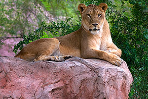 Lioness at the Phoenix Zoo