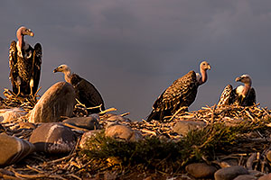 Ruppell`s Griffon Vultures at the Phoenix Zoo