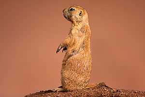 Prairie Dog at the Phoenix Zoo