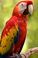 Scarlet Macaw at the Phoenix Zoo