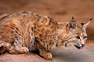 Bobcat at the Phoenix Zoo
