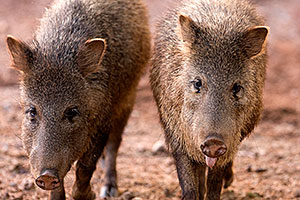 Javalinas at the Phoenix Zoo