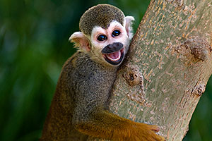 Squirrel Monkey smiling with open mouth at the Phoenix Zoo