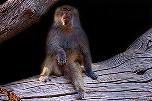 Female Baboon at Phoenix Zoo