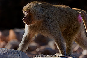 Baboon at Phoenix Zoo