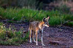 Coyote at the Phoenix Zoo