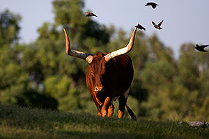 Watusi Cattle at Phoenix Zoo