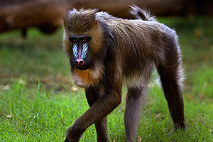 Mandrill [female] at the Phoenix Zoo