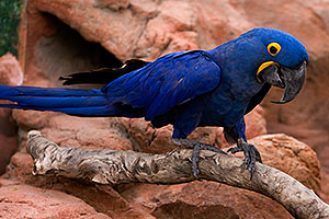 Hyacinth Macaw at the Phoenix Zoo