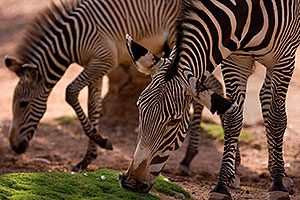 Zebras at the Phoenix Zoo