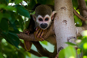 Squirrel Monkey at the Phoenix Zoo