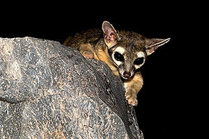 Ringtail at Squaw Peak