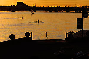Great Blue Heron watching 2 single scullers at Tempe Town Lake