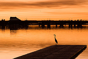 Great Blue Heron at North Bank Boat Ramp at sunset at Tempe Town Lake