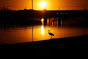 Great Blue Heron at sunset at Tempe Town Lake