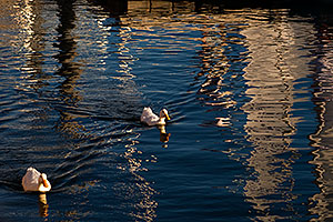 Ducks at Tempe Town Lake