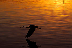 Great Blue Heron flying in sunset at Tempe Town Lake